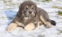Cel mai scump câine din lume. Află mai multe despre legendarul dog de Tibet