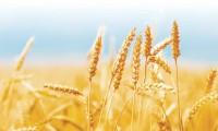 Producţii record la grâu şi porumb. Suntem din nou