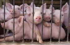 Vin Sărbătorile! Tăierea și pregătirea porcului de Ignat