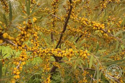 Prima recoltă de cătină ecologică din România obținută de Cooperativa Agricola Bio Cătina