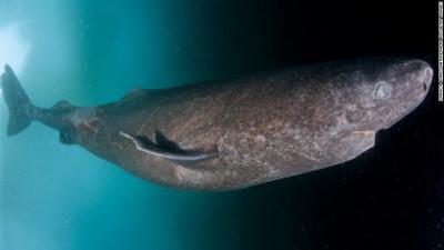 A fost descoperit un rechin care trăiește de 400 de ani