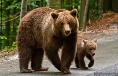 China: sfâșiat de urși în fața turiștilor