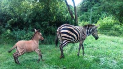 Un pui hibrid de zebră şi măgar s-a născut într-un parc naţional din Kenya