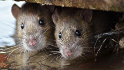 OMS: O nouă tulpină de hepatită E provenind de la șobolani, în Hong Kong
